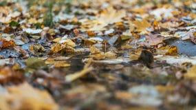 Stubarwny moczy liście po deszczu Jesień dój W kałuży ulistnienie jest mokry Piękny tło liście Zdjęcie Stock