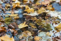 Stubarwny moczy liście po deszczu Jesień dój W kałuży ulistnienie jest mokry Piękny tło liście Fotografia Stock