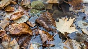 Stubarwny moczy liście po deszczu W wodzie w naturze W kałuży ulistnienie jest mokry Piękny tło Zdjęcia Royalty Free