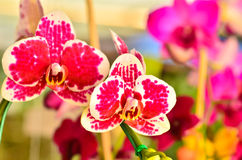 Stubarwny Phalaenopsis fotografia royalty free