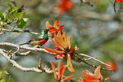 Stubarwny ptak w Południowa Afryka Obraz Royalty Free