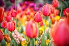 Stubarwny tulipanu pole przy wiosną Obrazy Stock