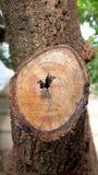 Stubbe av det klippta trädet Royaltyfri Bild