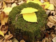 stubbe för texturtimmerträd royaltyfri foto