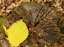stubbe för texturtimmerträd royaltyfria bilder