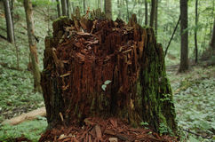 Stubbe i skogen i Tatra berg royaltyfria foton