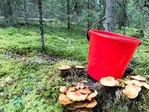 Stubbe i skogen med mycket härliga läckra ätliga champinjoner med en röd plast- hink i skogen på en bakgrund fotografering för bildbyråer