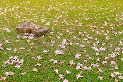 Stubbe med den rosa blommanedgången på gräs Fotografering för Bildbyråer