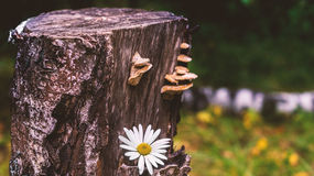 Stubbe med kamomill Royaltyfria Bilder
