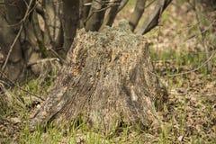 Stubbe med mossa i skogen Arkivfoto
