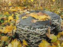Stubbe som täckas med champinjoner i höst Arkivbild