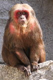 Stubbe-tailed macaque Arkivbilder