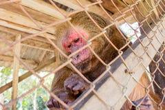 Stubbe-tailed macaque i bur Fotografering för Bildbyråer