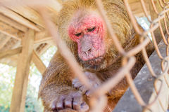 Stubbe-tailed macaque i bur Arkivfoto