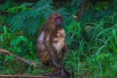 Stubbe-tailed macaqueMacacaarctoides i natur Royaltyfri Fotografi