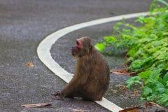 Stubbe-tailed macaqueMacacaarctoides i natur Royaltyfria Bilder