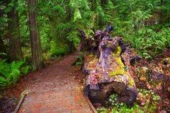Stubben och mossiga trädstammar i Holland Creek skuggar, Vancouver är Arkivbilder