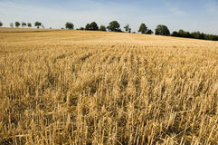 Stubble. Partly harvested wheatfield. With space for copy royalty free stock image