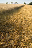 Stubble. Partly harvested wheatfield. With space for copy stock images