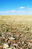 Stubble of Cornfield Royalty Free Stock Images