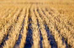 Stubble-Feld am Sonnenuntergang lizenzfreies stockfoto