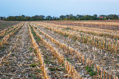 Stubble Field After Corn Harvest Royalty Free Stock Photography