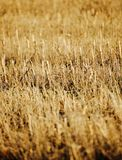The golden stubble field Stock Photo