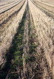 Stubble field after harvest Stock Photo