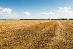 Stubble field after harvesting grain. Large stubble field in summertime Stock Photo