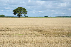 Stubble field with a lone tree Royalty Free Stock Images