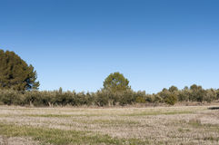 Stubble field and olive groves Royalty Free Stock Photos