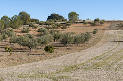 Stubble field and olive groves Stock Images