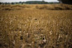 Stubble field Stock Photography