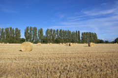 Stubble field with poplar trees Stock Images