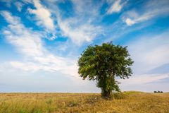 Stubble field with single tree. Stubble field with with single old rowan tree. Beautiful summertime rural landscape photographed in Poland royalty free stock images
