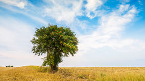 Stubble field with single tree. Stubble field with with single old rowan tree. Beautiful summertime rural landscape photographed in Poland royalty free stock photography