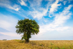 Stubble field with single tree. Stubble field with with single old rowan tree. Beautiful summertime rural landscape photographed in Poland royalty free stock image