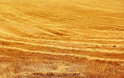 Stubble field. In sunny summer day Royalty Free Stock Photo
