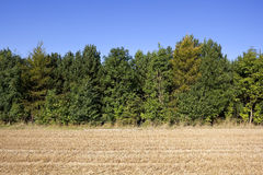 Stubble field and trees background. A golden stubble field with a plantation of mixed species of trees under a clear blue sky Royalty Free Stock Photo