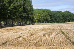 Stubble fields and poplar groves Royalty Free Stock Photos