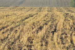 Stubble after harvest finite. Mowed agriculture. Stock Image