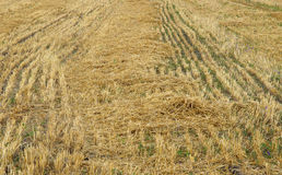 Stubble after harvest Royalty Free Stock Photo