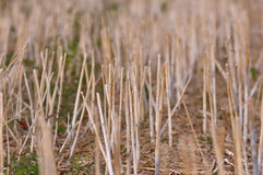 Stubble harvested wheat field Royalty Free Stock Photography