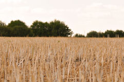 Stubble harvested wheat field Stock Photo