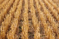 Stubble harvested wheat field. Rows of stubble harvested wheat field Royalty Free Stock Photo