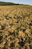 Stubble mulch. Mulched cereal stubble in the sun. With space for copy royalty free stock photos