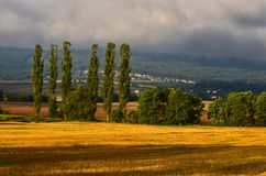 Stubble and poplars. Early summer morning after a heavy downpour in stubble Stock Image