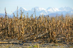Stubbled and Harvested Winter Corn Field Royalty Free Stock Photography