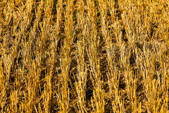 Stubbles on a field after the harvest Royalty Free Stock Photo