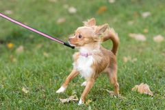 Stubborn Chihuahua Royalty Free Stock Images
